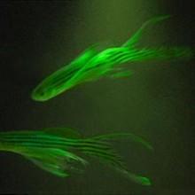 Bioestetica, arte transgenica e il coniglio verde. Conversazione con Eduardo Kac